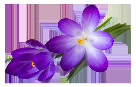 duże zdjęcie kwiatów krokusa