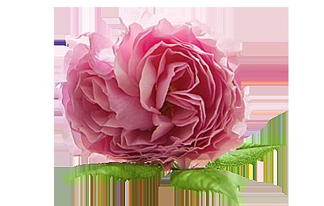 duże zdjęcie kwiatu róży