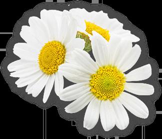 duże zdjęcie kwiatów rumianku