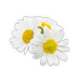 małe zdjęcie kwiatów rumianku
